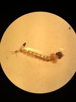 Larva 1